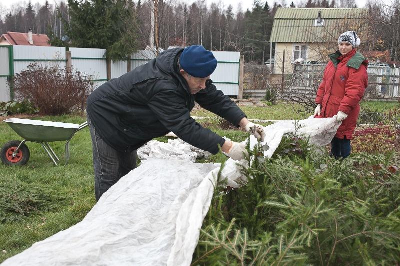 Как подготовить розмарин на зиму: укрыть, нужно ли выкапывать и обрезать - всё про сады