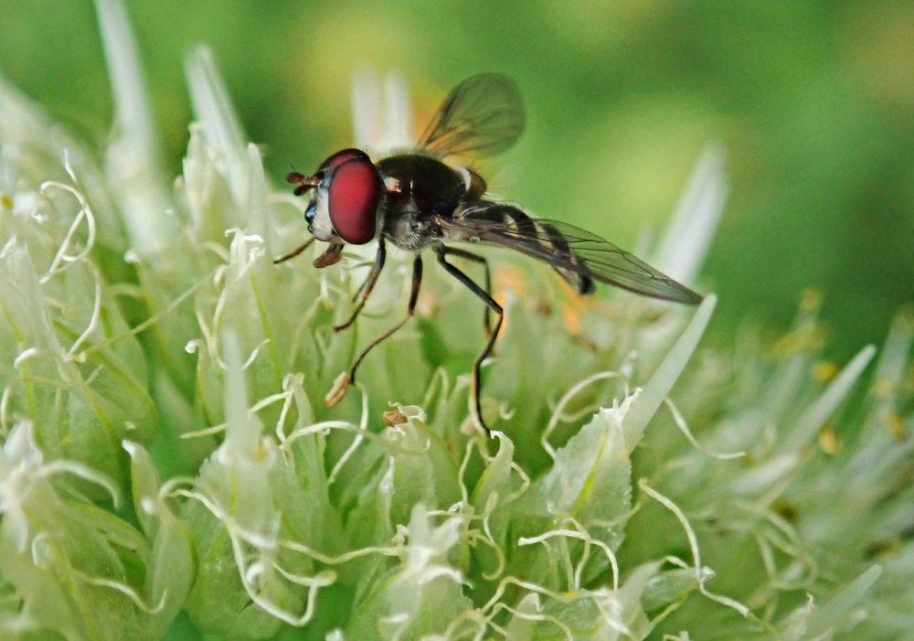 Луковая муха: как с ней бороться, чем обработать лук перед посадкой в качестве профилактики, народные средства и химические препараты