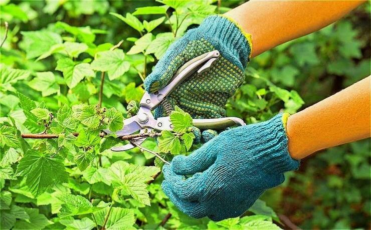 Уход за малиной весной и осенью: как правильно ухаживать и выращивать ремонтантную ягоду в весенний и осенний периоды, видео о выращивании