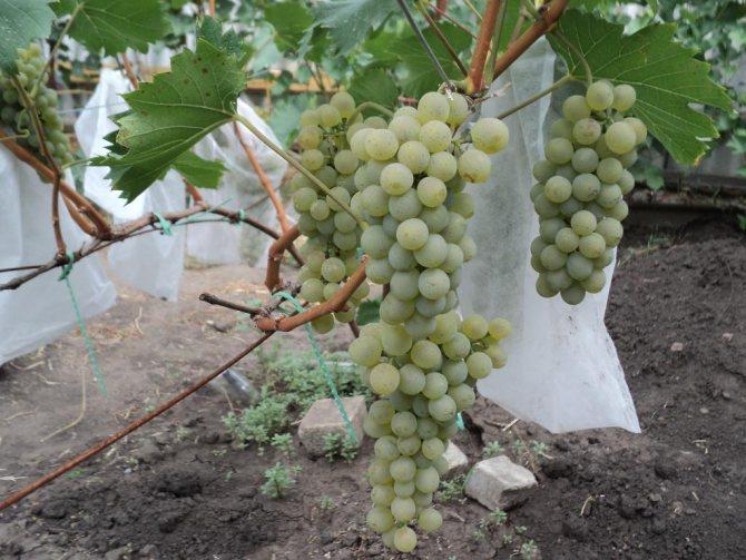 """Виноград """"бианка"""": описание сорта, фото, отзывы"""