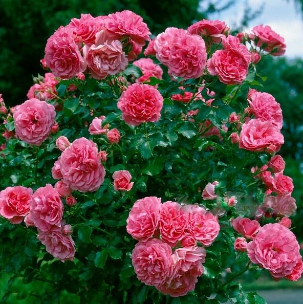 Роза розариум ютерсен – фото и описание, отзывы