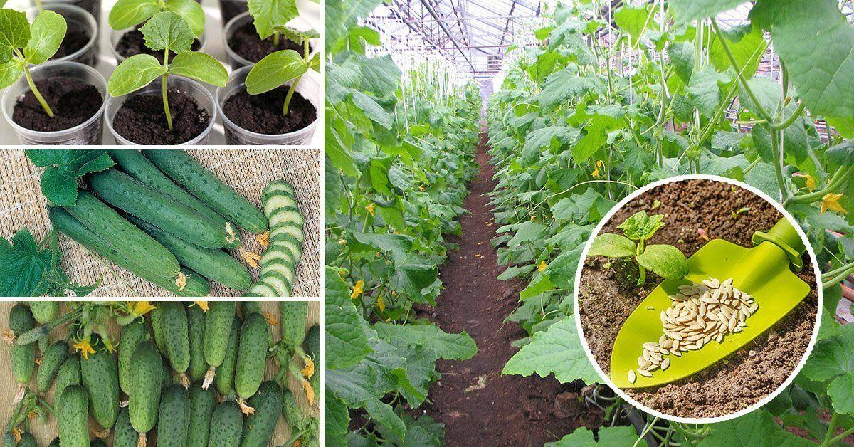 Как вырастить огурцы в ленинградской области: лучшие сорта огурцов, сроки посадки