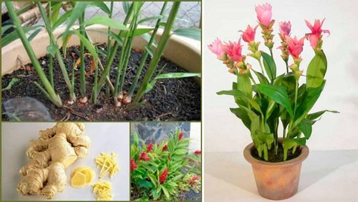 Как правильно вырастить имбирь: посадка на приусадебном участке и уход за растением