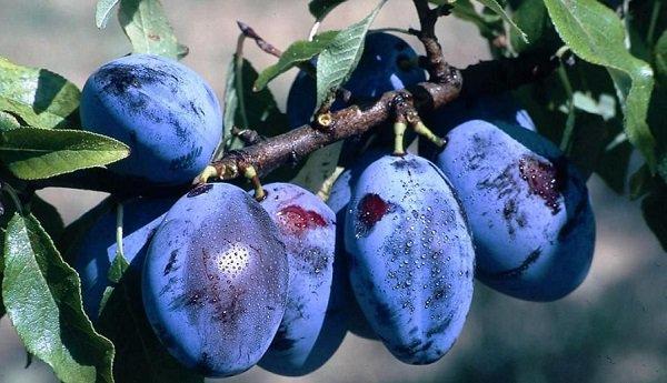 Описание 14 разновидностей слив сорта Венгерка, посадка и выращивание