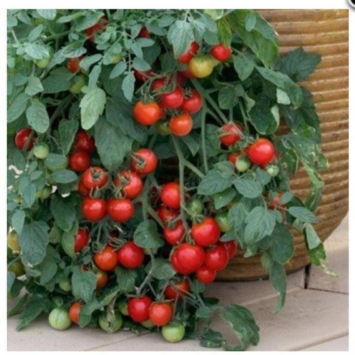 Помидоры на балконе: лучшие сорта томатов, их выращивание и уход