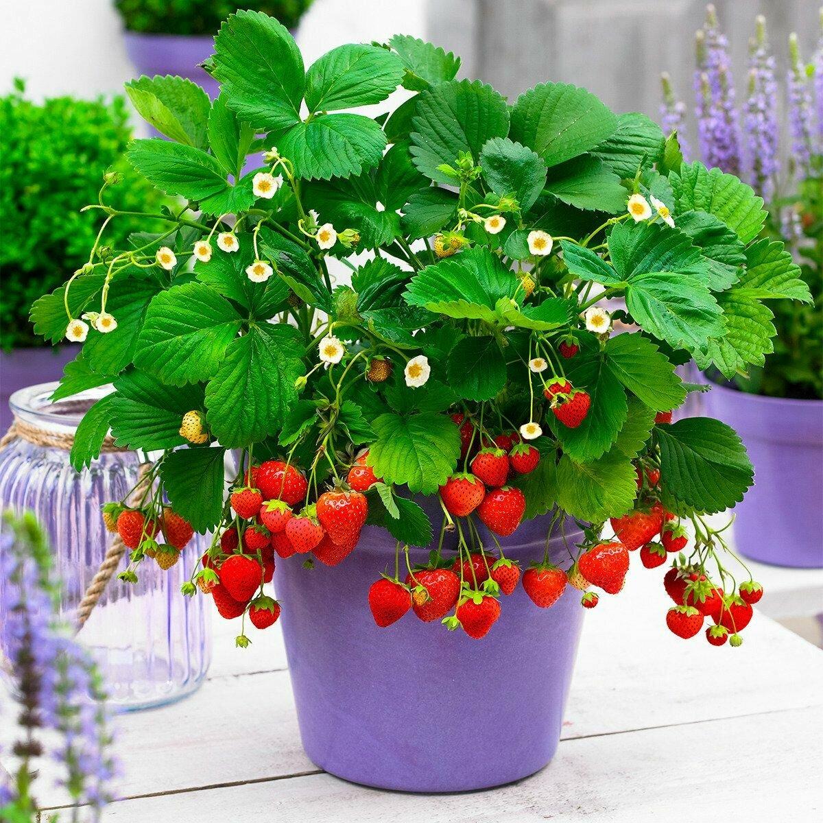 Клубника в горшках: выращивание на улице и в домашних условиях