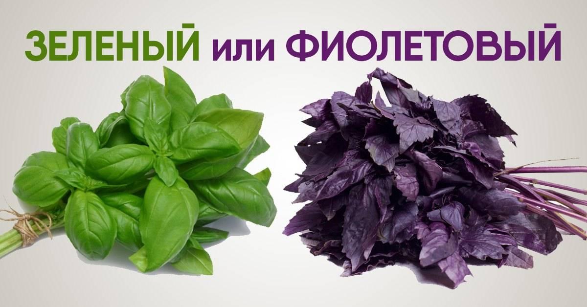 Растение базилик: описание сортов и видов, применение травы