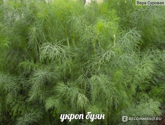 Божье дерево – декоративный куст полыни, выращивание в домашних условиях