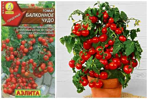 """Томаты """"балконное чудо"""": как вырастить в домашних условиях из семян на подоконнике или балконе, и выращивание данного сорта помидоров русский фермер"""