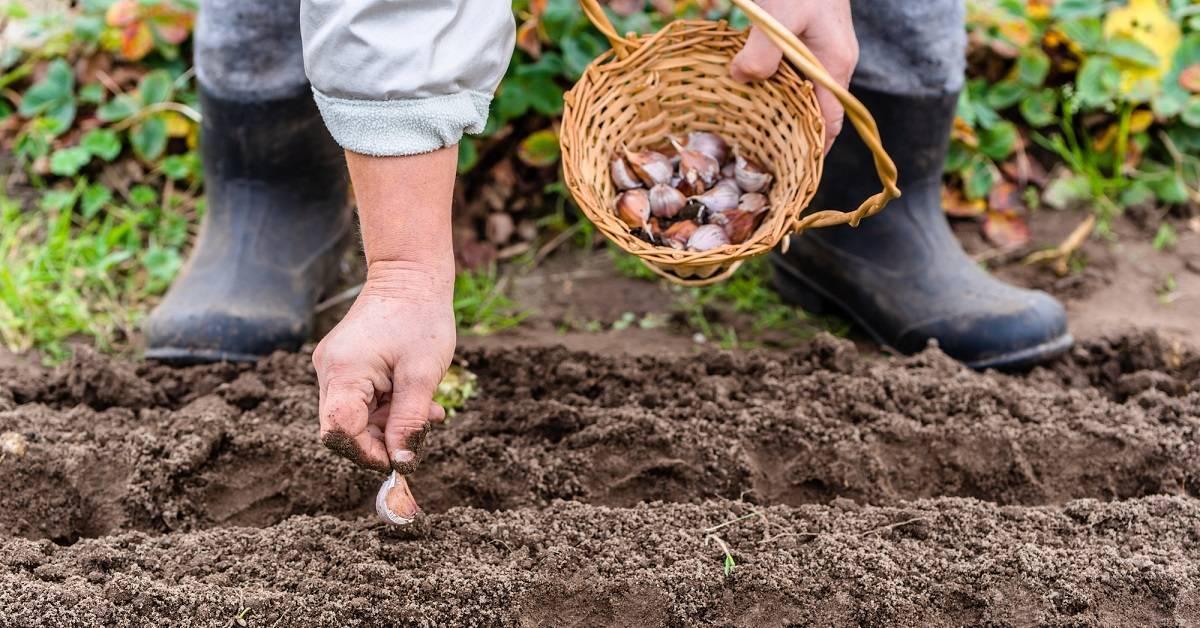 Основы посадки и выращивания черешни