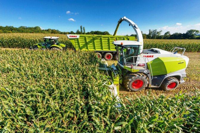Кукурузный силос — технология возделывания культуры