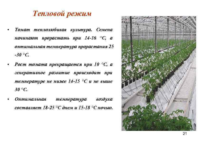 О минимальной температуре для рассады томатов: какую выдержит рассада помидор