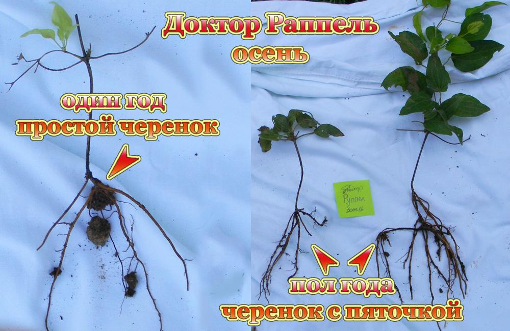 Как вырастить клематис из семян и рассады