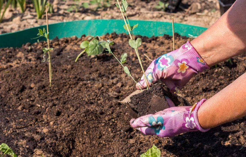 Кобея лазающая: посадка, особенности выращивания в домашних условиях и в открытом грунте, уход, фото