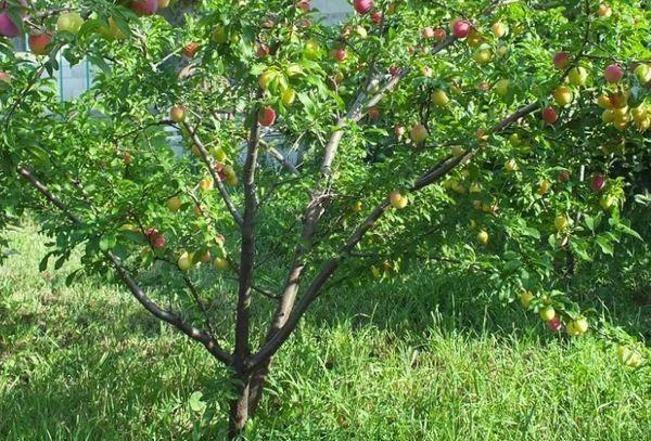 Алыча в саду: личный опыт высоких урожаев на supersadovnik.ru