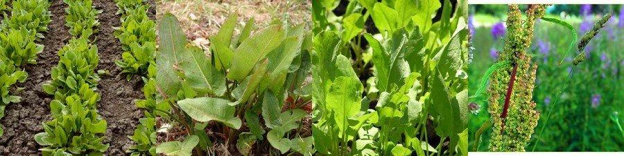 Щавель: посадка и уход в открытом грунте, как вырастить щавель из семян весной, когда сажать