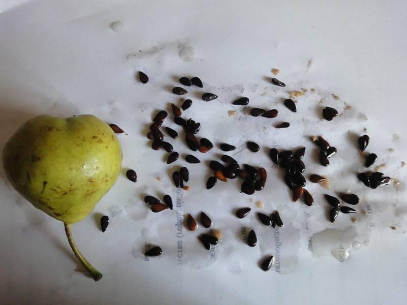 Как вырастить сливу из косточки: советы и рекомендации как подготовить почву, подготовить удобрения и вырастить сливу в домашних условиях (155 фото + видео)