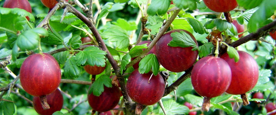 Описание сорта крыжовника колобок: корневая система, вкусовые качества ягод