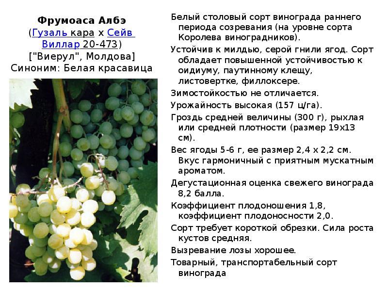 Виноград ливия: описание сорта, фото, отзывы, уход, видео