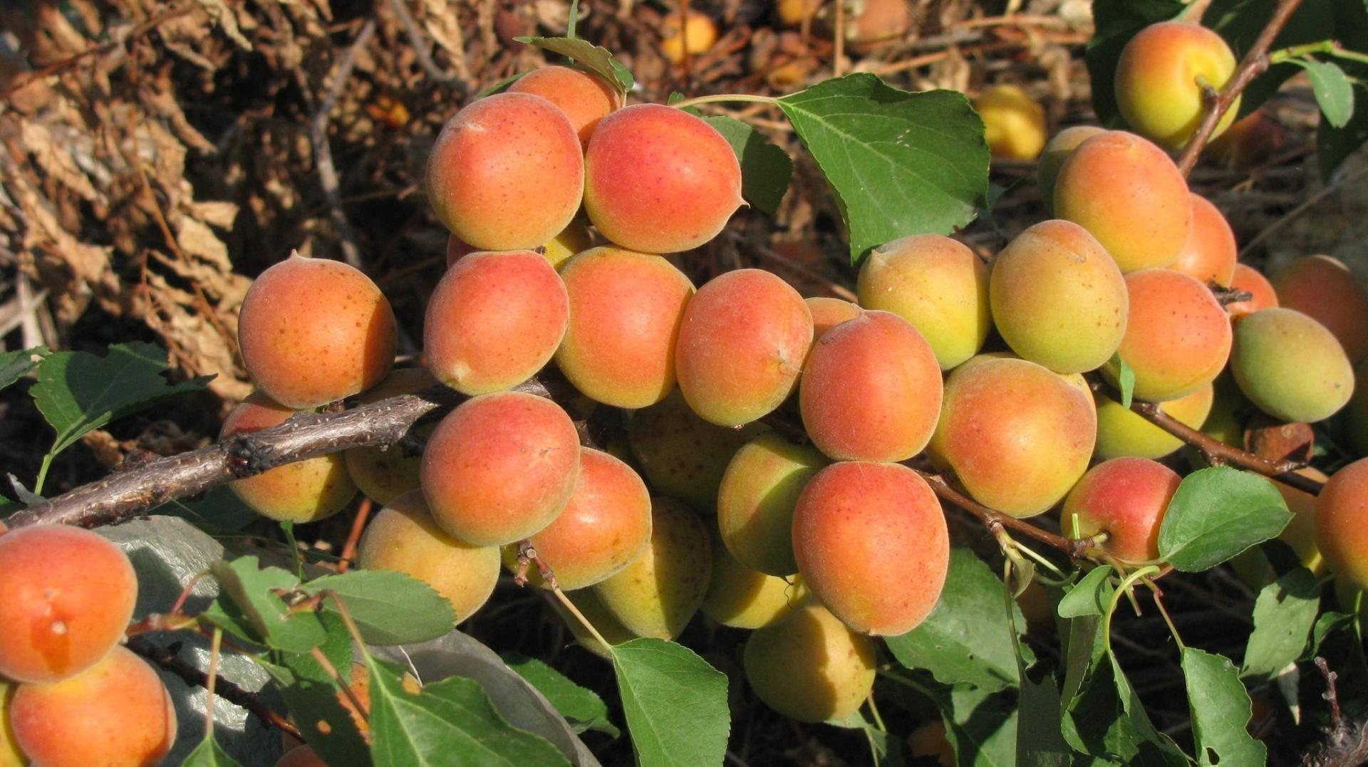 Абрикос северный триумф: отзывы, фото, описание сорта, выращивание, посадка и уход, обрезка