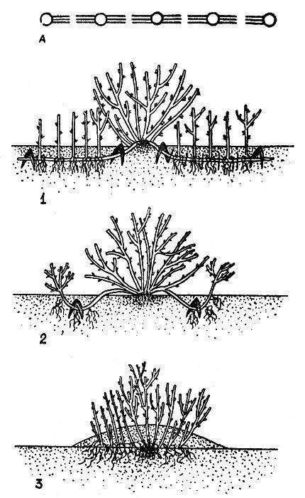 Крыжовник: посадка, уход, виды обрезки, размножение