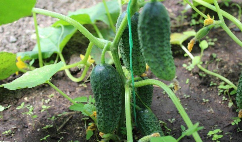 Огурец беттина f1: отзывы, описание сорта, посадка и выращивание, урожайность