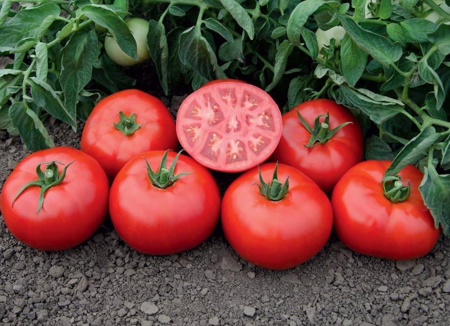 Ультраранний томат салатного назначения — капитан f1. знакомимся с описанием