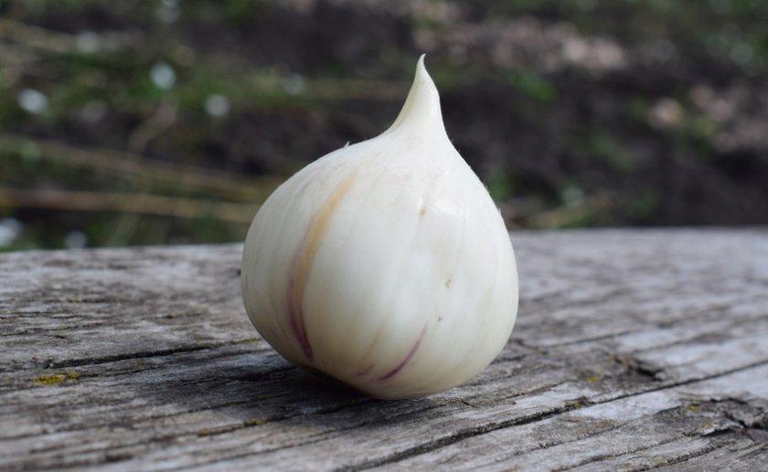 Лук суворова (анзур): выращивание и полезные свойства