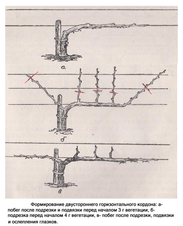 Виноград сорта преображение: описание и фото растения