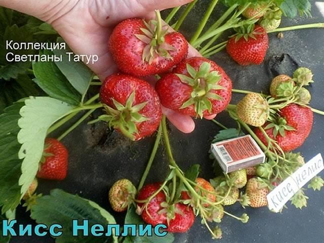 ✅ о сорте клубники кисс неллис: описание, агротехника выращивания, как ухаживать - tehnomir32.ru