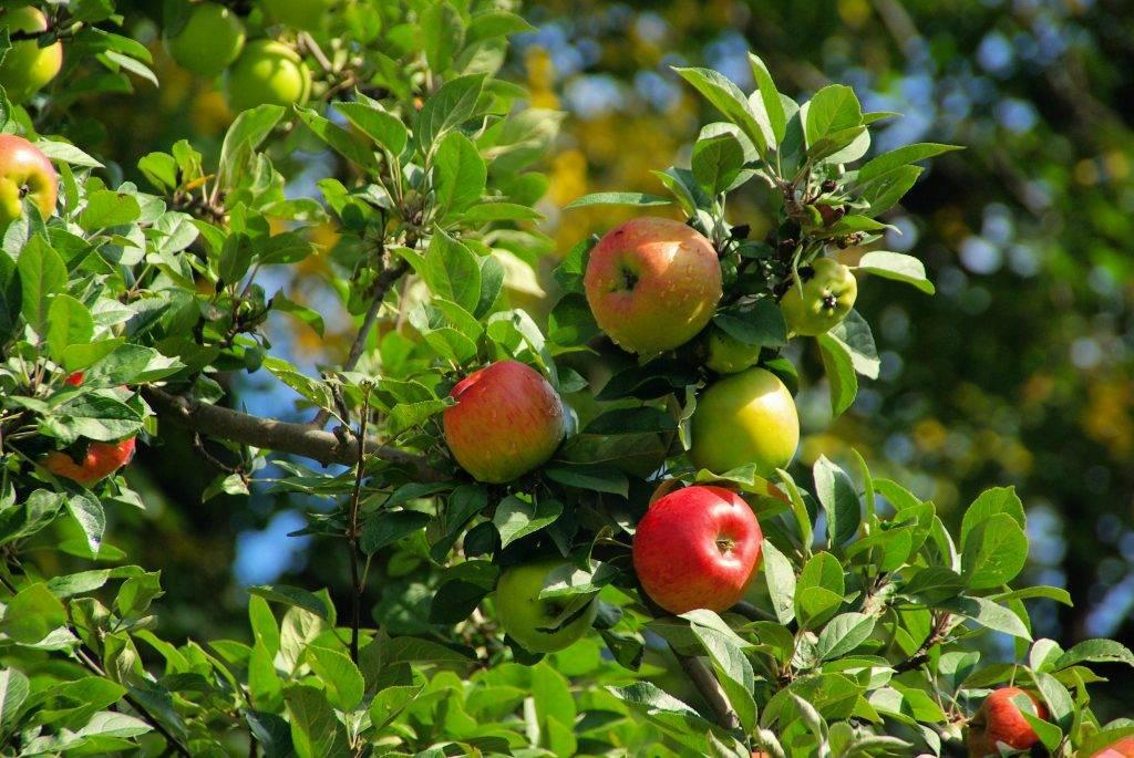Яблоня благая весть: описание штамбового сорта, посадка и уход, отзывы