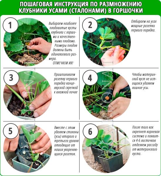 Клубника холидей: описание и характеристики сорта, правила выращивания, способы размножения