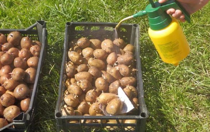 Как и когда проращивать картофель для посадки