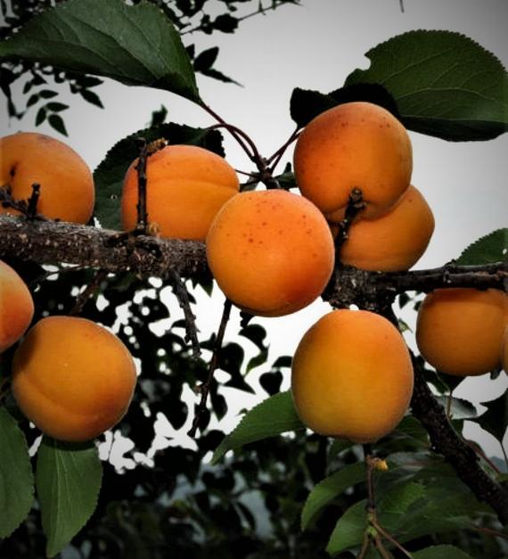 Абрикос в сибири: выращивание и уход, морозоустойчивые сорта