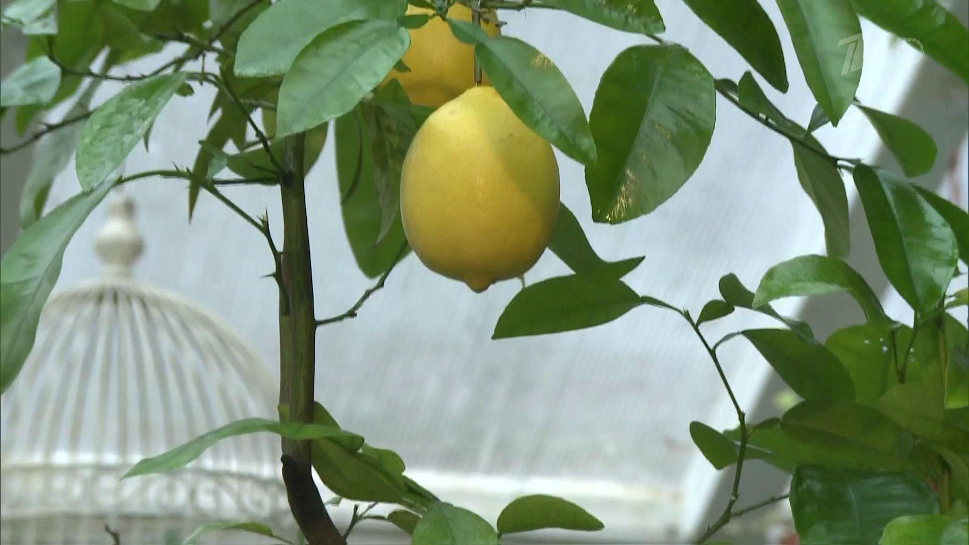О вечнозеленом павловском лимоне. уход за ним в домашних условиях, размножение растения, болезни и вредители