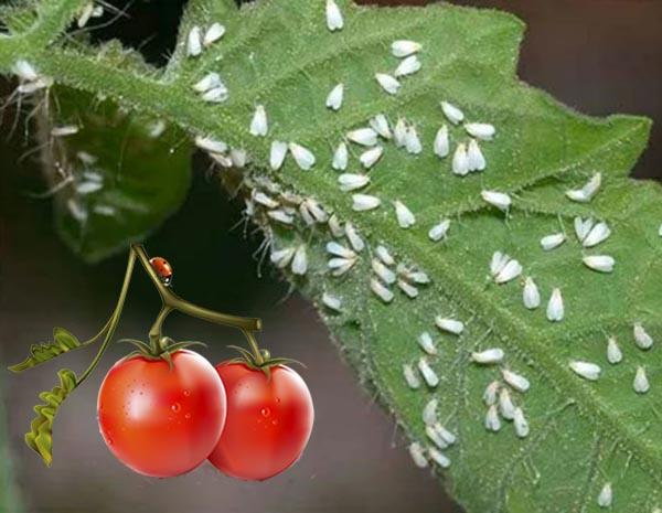Борьба с белокрылкой на помидорах в условиях теплицы