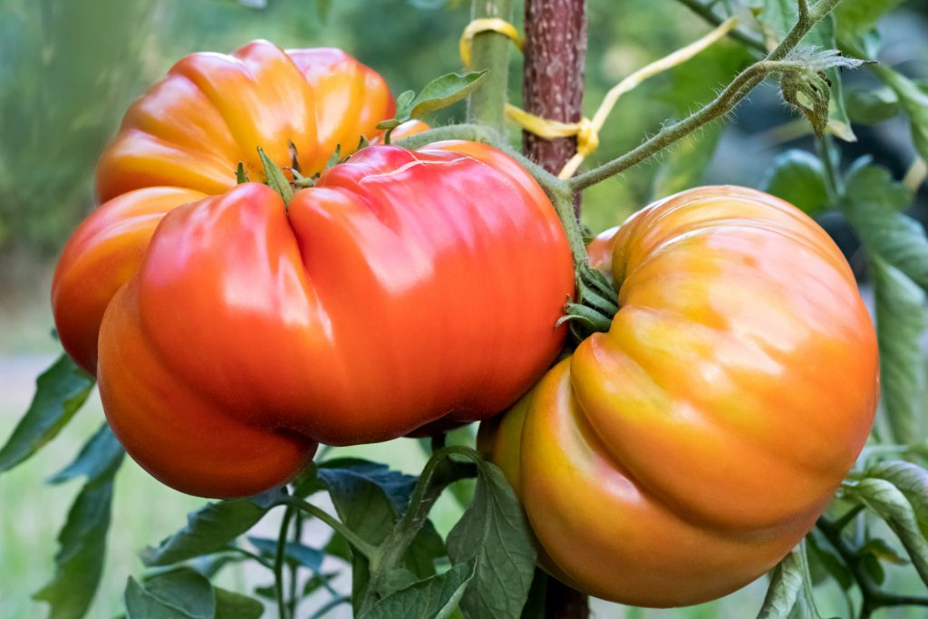 """Томат """"шапка мономаха"""": характеристика и описание сорта, урожайность, фото, отзывы"""
