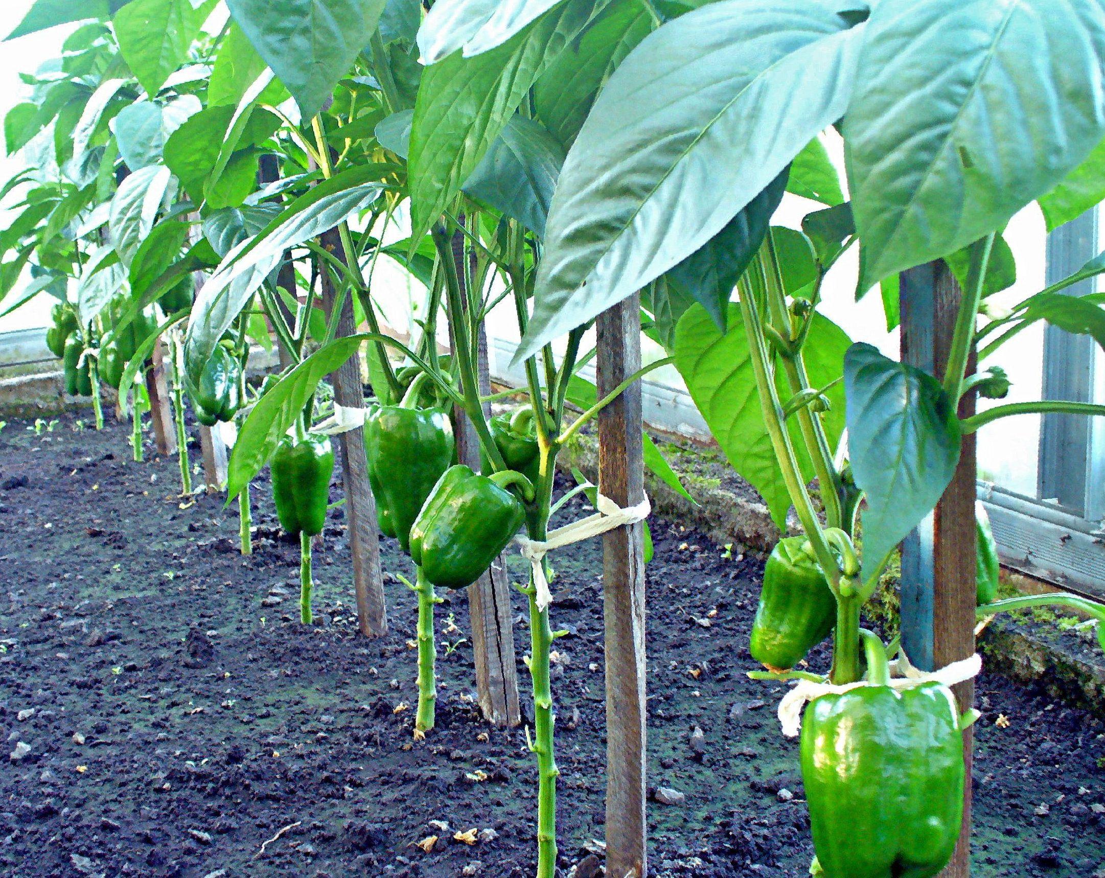 Острый перец – посадка и уход, выращивание острого перца из семян в теплице и открытом грунте | мир садоводства
