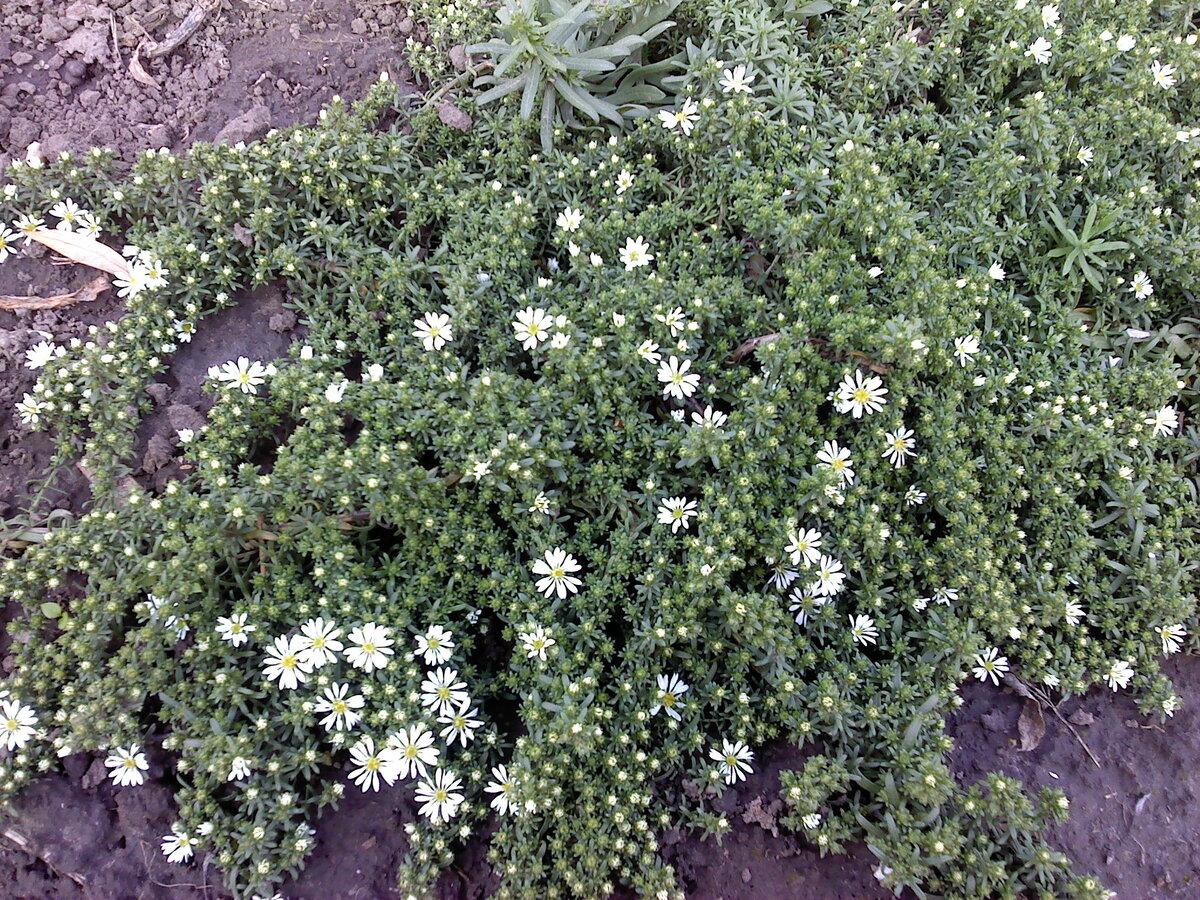 Выращивание астры из семян: правила и сроки посадки на рассаду в 2021 году, выращивание и уход в открытом грунте