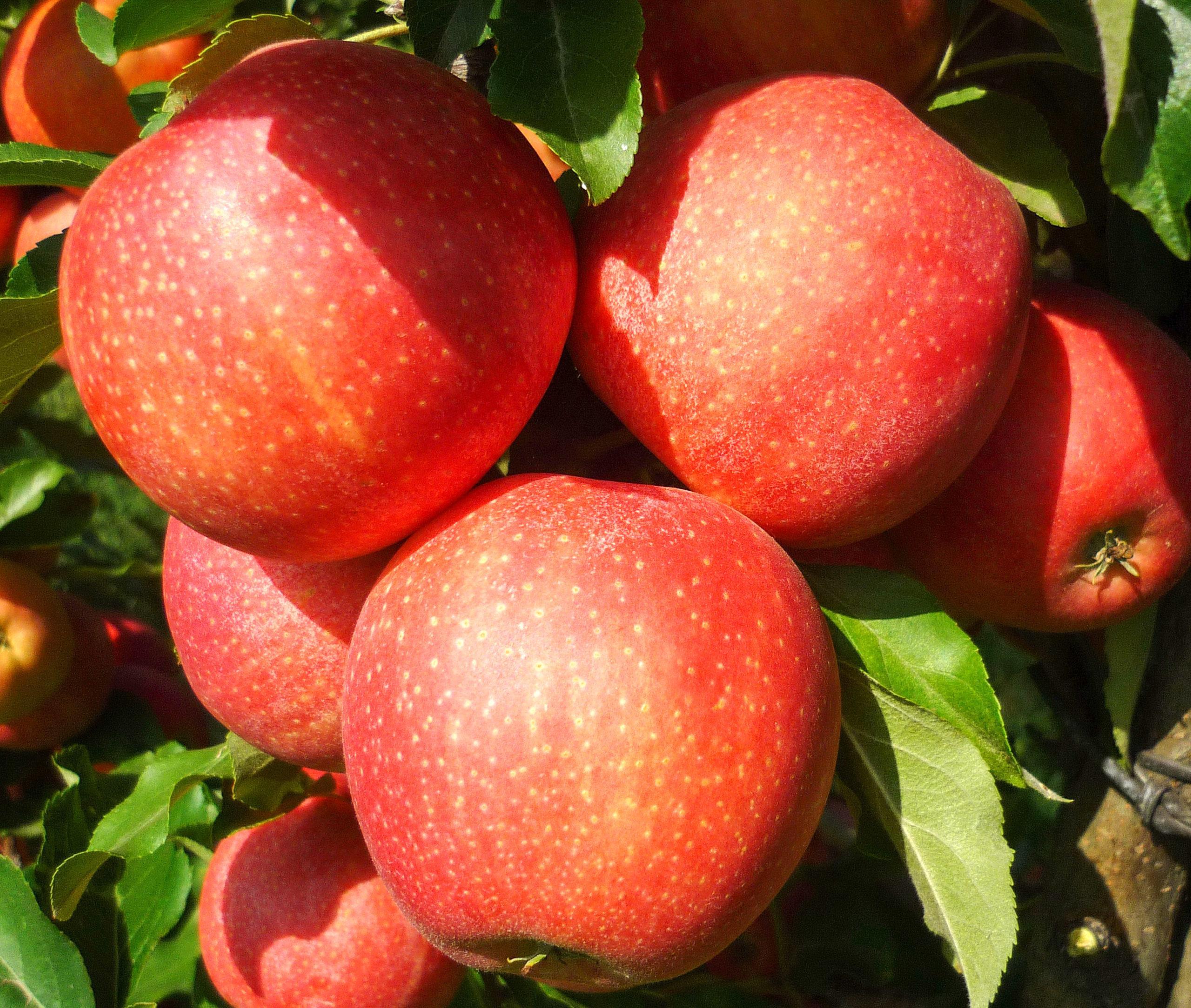 Яблоня гала: посадка, описание, фото + отзывы