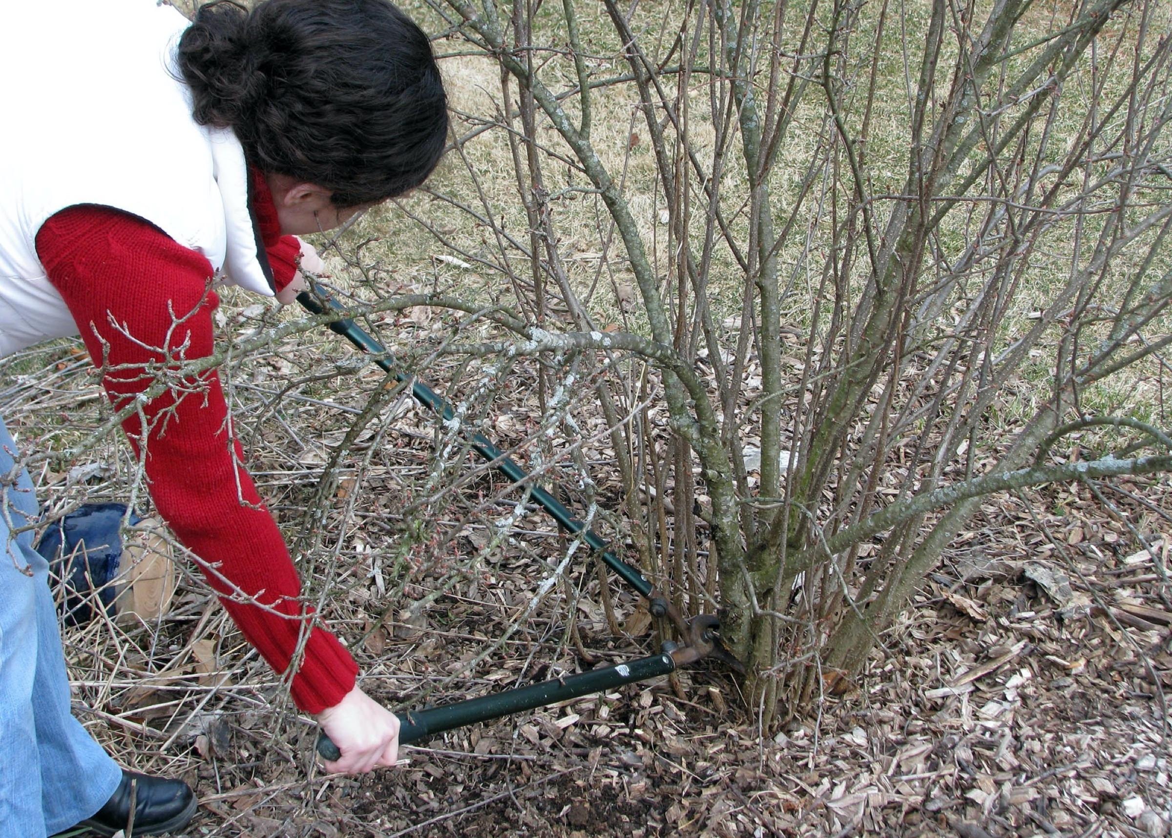 Как омолодить смородину черную весной