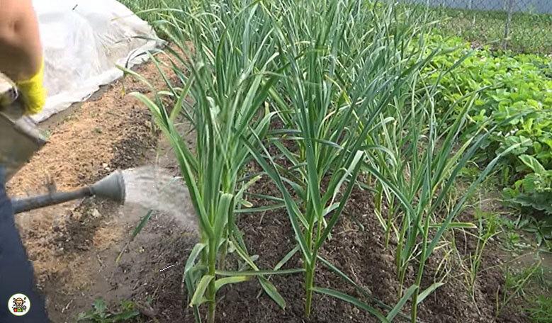 Подкормка чеснока весной удобрениями и народными способами