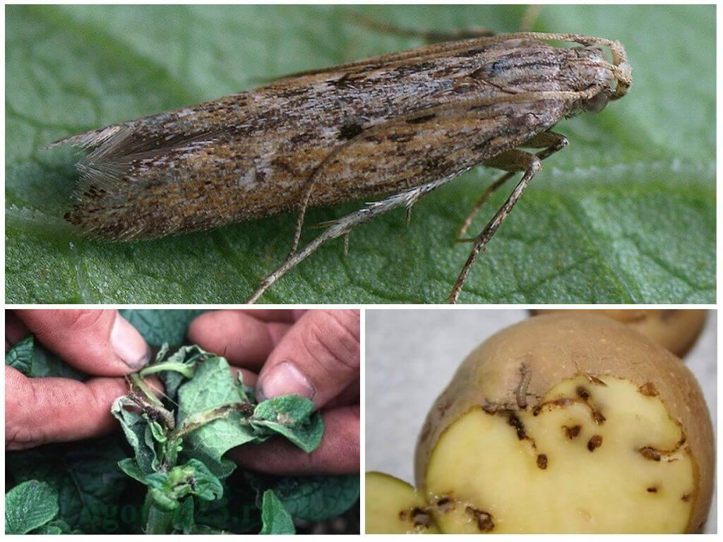 Вредители картофеля: описание и лечение, как избавиться от проволочника, колорадского жука и других с фото