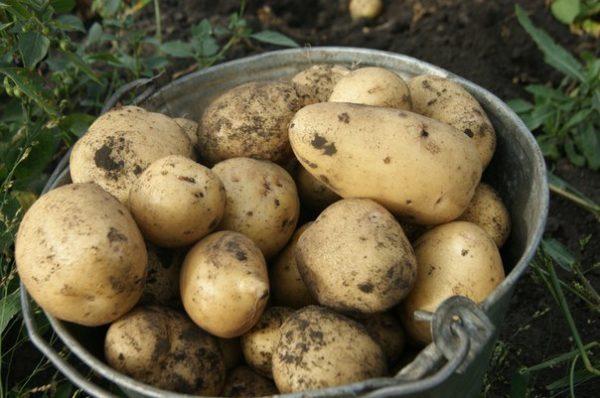 Сорт картофеля янка: характеристика, описание с фото, отзывы