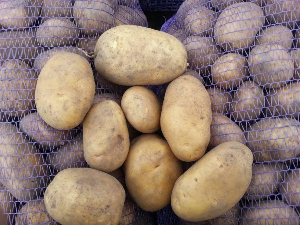 Ред леди картофель: описание сорта, правила посадки, отзывы