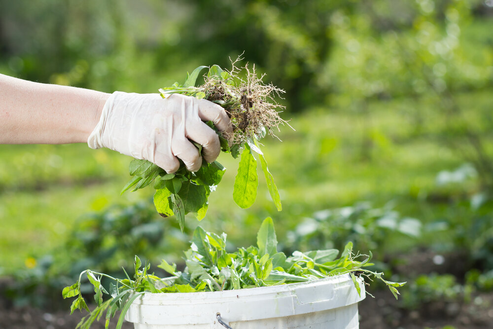 Польза сорняков: лекарственные свойства пырея, осота, чертополоха, крапивы, мульчирование сорняками, как сделать компост