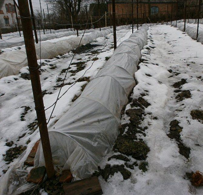 Укрыть виноград на зиму, фото, видео, как, молодой, укрытие, правильно, когда укрывать, надо ли, в какое время, укрываем, чем можно, лучше, первого года, в средней полосе