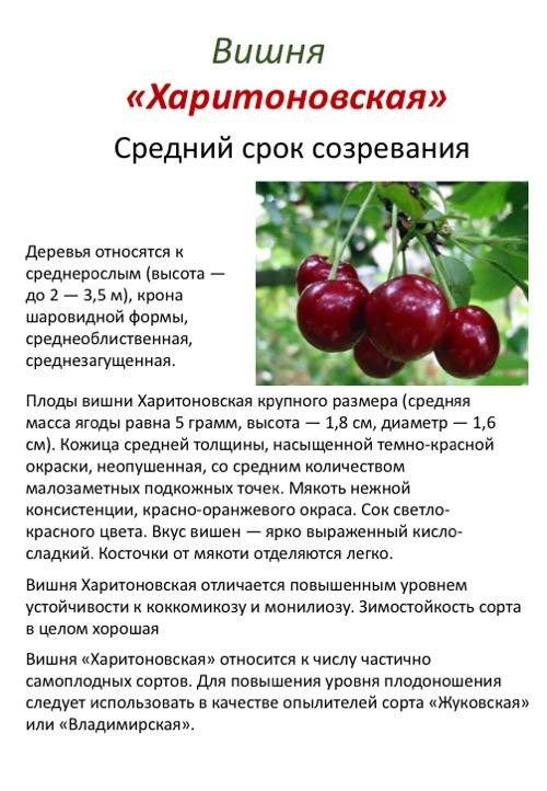 Вишня тургеневская (тургеневка): особенности сорта и советы садоводам