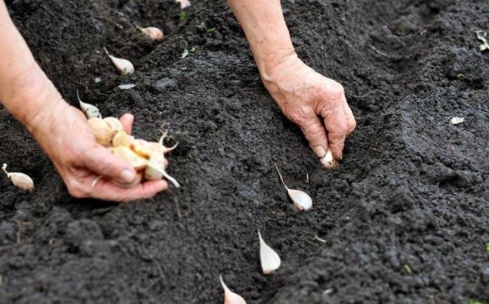 Посадка чеснока осенью под зиму: когда сажать, сроки, уход
