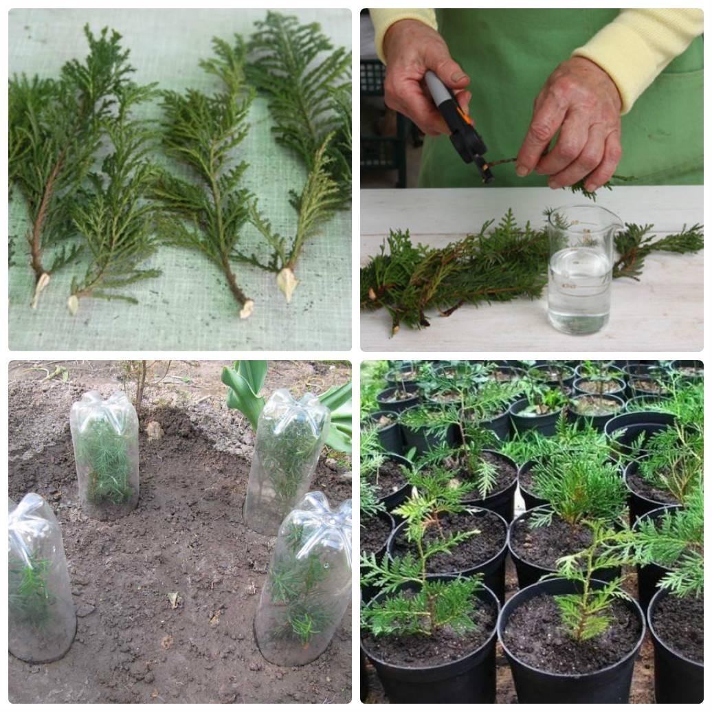 Тархун: выращивание и уход в открытом грунте, посадка семян и уход за эстрагоном в домашних условиях, сорта, как сеять
